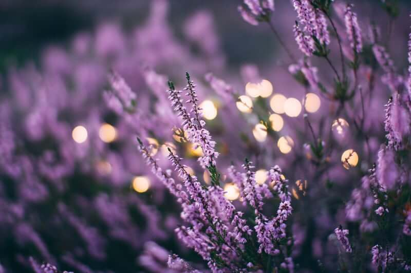 Lavender | The Mustcard