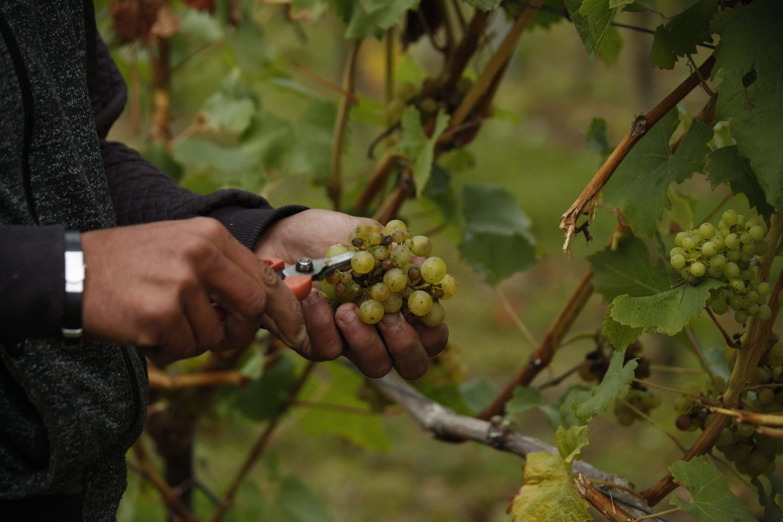 Cutting Grapes | The Mustcard